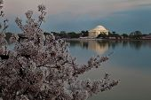 Washington Dc Jefferson Memorial Framed By Cherry Blossoms