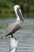 Brown Pelican on a Dock Piling