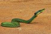 stock photo of harmless snakes  - Asian green nonagressive snake on a ground - JPG