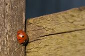 7-spot Ladybird on wooden gate post