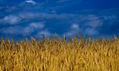 Nature - Wheat Field