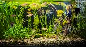 stock photo of freshwater fish  - A green beautiful planted tropical freshwater aquarium with fishes - JPG