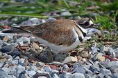 stock photo of killdeer  - Killdeer in ground nest of gravel driveway - JPG