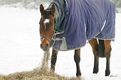 stock photo of horses eating  - Thoroughbred horse eating hay in a snow covered paddock - JPG