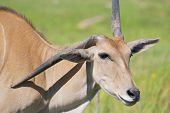 Eland (Cape or Livingstone's) (Tragelaphus oryx). Largest of all the world's antelope.