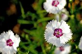 white sweet william (Dianthus barbatus) flower
