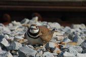 stock photo of killdeer  - Kildeer guarding her eggs near the railroad tracks - JPG