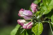 Apple Blossom, Malus Domestica, Closed