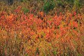 Colorful Autumn Bushes