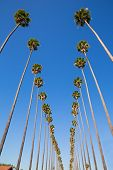 pic of washingtonia  - LA Los Angeles palm trees in a row typical California Washingtonia filifera - JPG