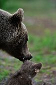 Mother Bear With Cub
