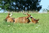 foto of wallow  - Nice chestnut horse rolling with pleasure in summer - JPG