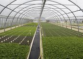 foto of greenhouse  - parsley cultivation inside a greenhouse in Italy - JPG