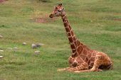 Giraffe Sitting On Grass