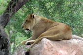 African Lioness With Grassy Background