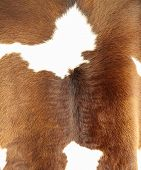 Brown and white hair cowskin texture sheet.