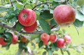 Beautiful red-ripe apples on the branch. Close-up shot.