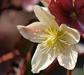 foto of helleborus  - Beautiful Helleborus Orientalis flower in the sunshine - JPG