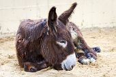 stock photo of donkey  - donkey lying down after a hard day - JPG