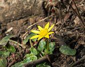 image of celandine  - Yellow Spring flower Lesser Celandine blooming in woodland - JPG