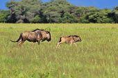 Blue Wildebeest - Wildlife Background from Africa -