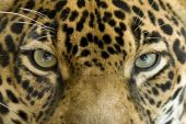 close up of jaguar or panthera onca eyes, costa rica