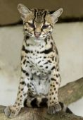 margay cat or caucel or leopardus wiedii curiously looking at camera