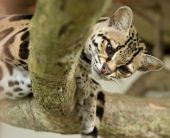 pic of ocelot  - margay cat or caucel or leopardus wiedii curiously looking at camera - JPG