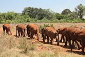 Baby elephants follow their keepers