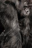 Face Portrait Of A Gorilla Male