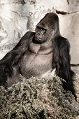 stock photo of face-fungus  - Portrait of a gorilla male in european zoo