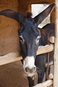 picture of burro  - the gray burro looks out of a stall