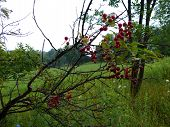 Side hill berries