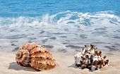 stock photo of conch  - Conch shells on beach - JPG