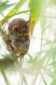 The Filipino Tarsier is the smallest primate living on earth, here it's standing on a bamboo tree in