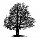 picture of alder-tree  - Black Alder full size tree isolated silhouette - JPG