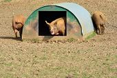 pigs at home