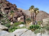 picture of washingtonia  - Palm Canyon in the Anza - JPG
