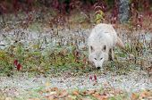 Blonde Wolf (Canis lupus) Trots Along In Early Snowfall