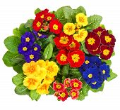 Assorted Primula Flowers Isolated On White