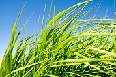 foto of tallgrass  - green tall grass against blue sky closeup shot shallow depth of field - JPG