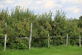 Apple orchard and weathered fencing