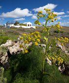 Canarian giant fennel - ferula lancerottensis