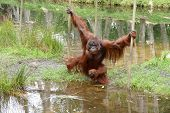 Orangutan Male With Cheek Pads Crossing Water