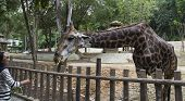 A Giraffe Bend Down For Vegetable Feeding