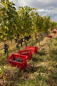 picture of box-end  - Boxes overflowing with grapes during the harvest year - JPG