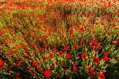 Poppy Colored  Field
