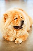 pic of chow-chow  - Red Chines chow chow dog close up portrait - JPG