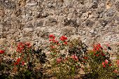 Roses And Wall