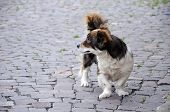 Dog With Bandy Legs On Paving Square